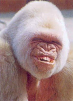 gorilla_smile.jpg